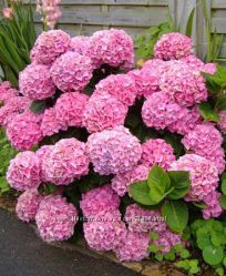 Гортензия садовая Розовая Малиновая Голубая