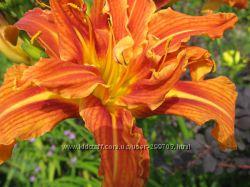 Махровый, сочный, оранжевый  лилейник  сорт  Fulva Flawens