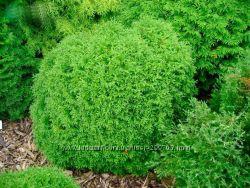 Вечнозелёные шары из туи разного размера, оттенка и фактуры для вашего сада