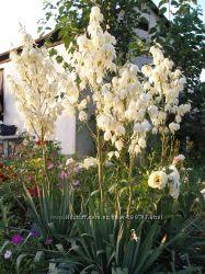Саженцы юкки нитчатой - морозостойкий вечнозелёный красивоцветущий экзот
