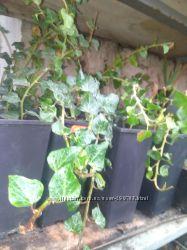 Плющ обыкновенный, морозоустойчивый -саженцы  до 1 м в контейнерах для сада