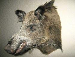 Чучело головы кабана, волка