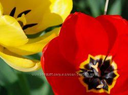 Тюльпаны, нарциссы - луковицы 2020
