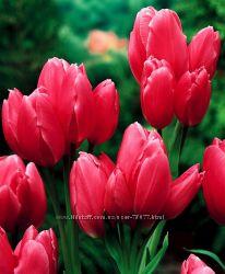 СП - Тюльпан Семейка многоцветковые