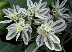Семена цветов Невеста