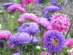 Семена цветов  Астры