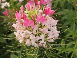 Семена цветов Брызги шампанского