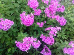 флоксы со своего сада