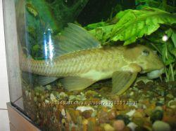 Продам сома Парчовый птеригоплихт лат. Pterygoplichthys gibbiceps