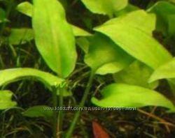 Криптокорина канадская-аквариумное растение