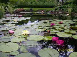 Нимфеи-водные лилии