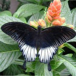 Удивительная живая бабочка ласточкин хвост