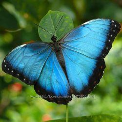 Бархатная живая бабочка Морфо