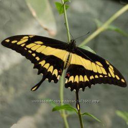 Бабочка живая красивой расцветки Тоас
