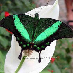 Павлин живая бабочка цветная