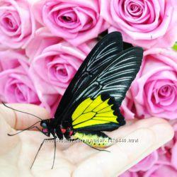 Оригинальная живая бабочка птицекрылка