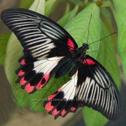 Живая бабочка с красными капельками на крылышке Румянцева