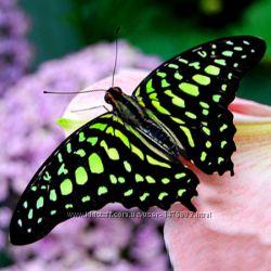 Живая бабочка Графиум