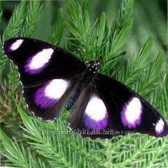 Болина живая бабочка, завораживающая