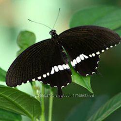 Чудесная бабочка Мормон